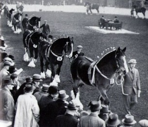 Parade of Shire stallions 1940