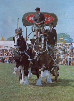Shires in harness