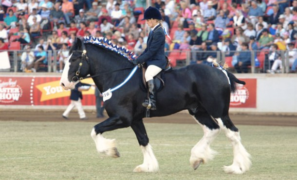Shire stallion Oakridge Speculator